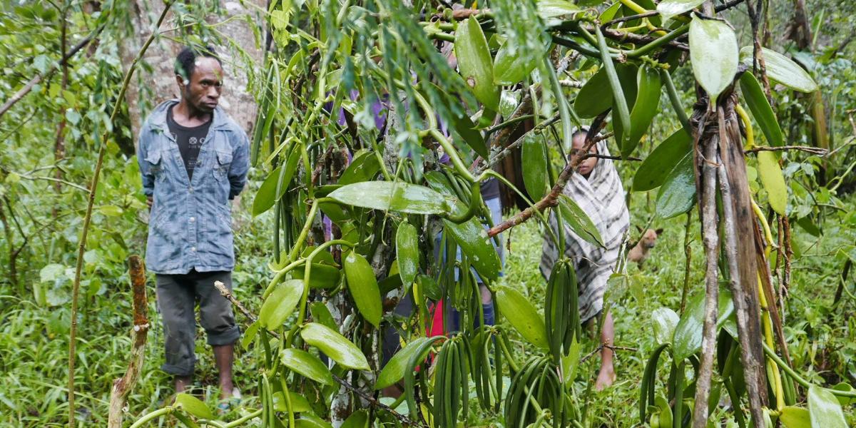 Vanilla Bean Farmers in Indonesia